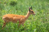 Cute Oribi antelope Ethiopia, Africa wildlife