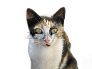 Domestic cat isolated
