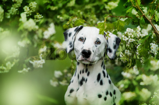 Dalmatian puppy sitting under a hawthorn