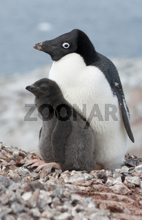 Family Adelie penguins.