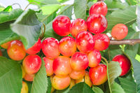 Vivid rainier white cherry berry