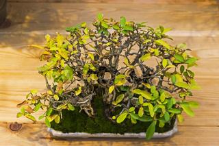 Bonsai tree  - Amur privet