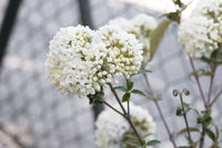 Schneeball (Viburnum) im Garten, Nahaufnahme