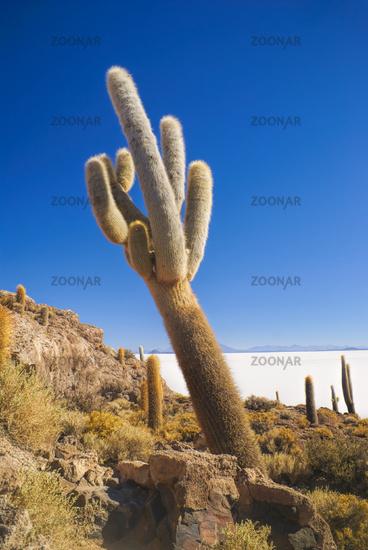 Huge cactus growing near white salt planes Salar de Uyuni in Bolivia