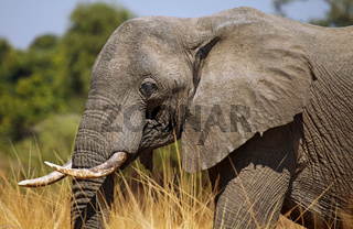 Elefant im South Luangwa Nationalpark, Sambia; Loxodonta africana; Elephant at South Luangwa National Park, Zambia
