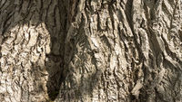 Detail of the very old poplar tree bark