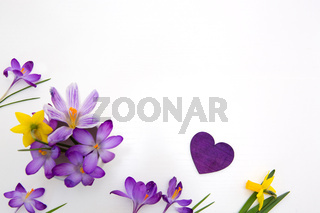 Mother's day background with purple crocuses and love heart on white .