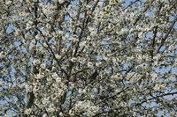 Prunus avium, Sweet Cherry