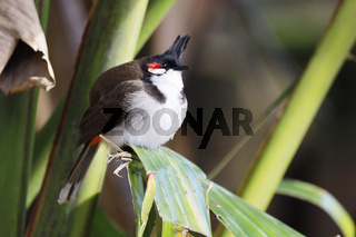 Southeast Asian Red-whiskered bulbul (Pycnonotus jocosus), Mauritius, Africa