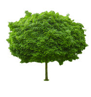 Green tree with dense foliage spherical shape isolated on white.