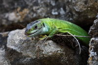 Western Green Lizard (Lacerta bilineata)  sits in a dry stone wall Germany