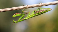 European mantis holding on plant upside down in summer nature at sunset