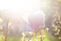 Delicate magnolia flower on branch