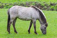 Tarpan horse close