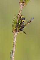 Potter wasp (Ancistrocerus nigricornis)