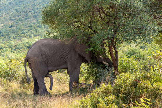 wild African Elephant ready for mating, South Africa