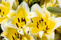 yellow beauty lily flowers