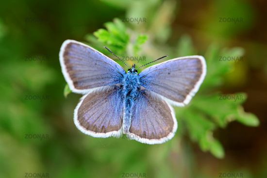 blue butterfly close detail