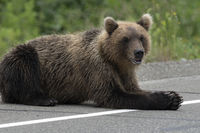 Hungry wild Kamchatka brown bear lies on asphalt road