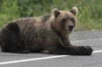Hungry wild Kamchatka brown bear lies on asphalt road