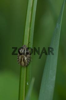 Schildkrötenwanze (Eurygaster testudinaria)