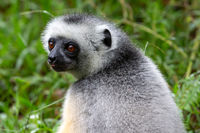 A Sifaka lemur sits in the grass and watches what happens in the area