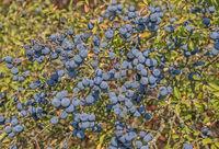 Blackthorn fruits 'Prunus spinosa'