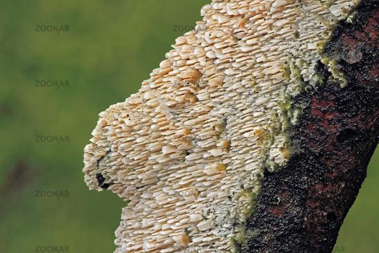 Cerocorticium molare