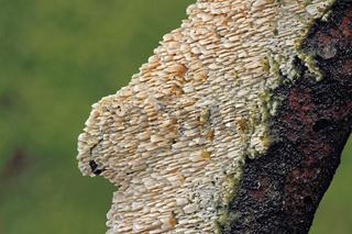 Gezaehnter Reibeisenpilz (Cerocorticium molare)