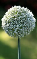 onion flower, white