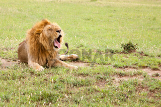 Big lion yawns lying on a meadow with grass