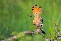 Eurasian hoopoe sitting on bush in springtime nature