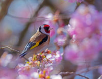 European goldfinch sitting on a flowering cherry tree