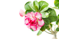 Pink flower Adenium isolated on white