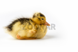 duckling isolated on white