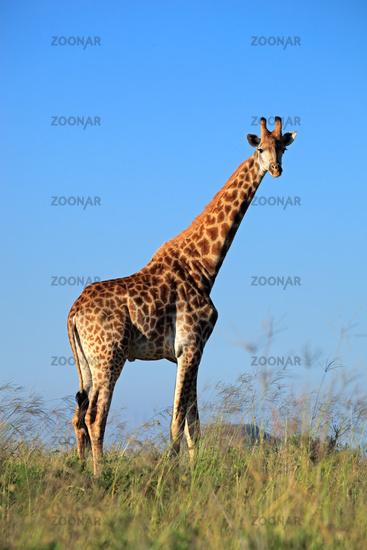 Giraffe bull