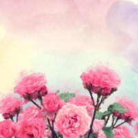 Pink roses watercolor illustration.