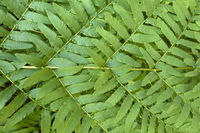 Osmunda regalis, fern frond of the royal fern, Germany