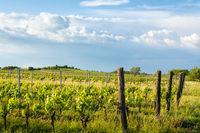 Vineyards in burgenland in summer