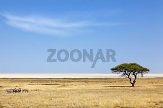Zebras vor der Etosha-Pfanne