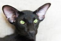 Purebred black oriental cat