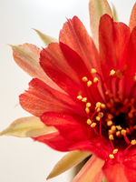 Red color delicate petal with fluffy hairy of Echinopsis Cactus flower