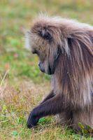 Portrait of baboon monkey eating, Ethiopia