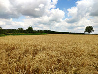 Beautiful summer landscape. Harvesting outdoors. Wheat field in the countryside.