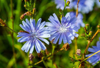 common chicory plant