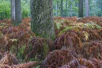 Laubmischwald und Adlerfarn im Herbst / Mixed deciduous forest with Bracken in autumn / Schierenwald  -  Schleswig-Holstein