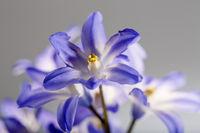 Plant portrait, star hyacinth