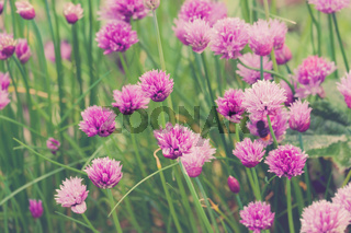 group of Chive Purple flowers in a garden