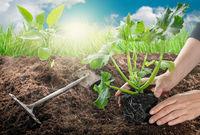 Gardening- female hands planting zucchini in vegetable garden
