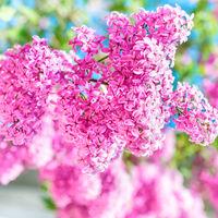 Branch of beautiful purple lilac flowers